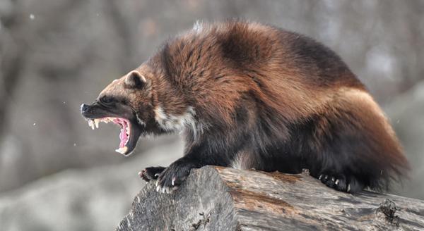wolverine_ferocious